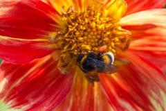 Abejorro en la flor del aster Fotografía de archivo libre de regalías