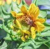 Abejorro en la flor del girasol Foto de archivo libre de regalías