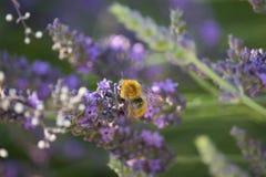 Abejorro en la flor del Lavandula Foto de archivo libre de regalías
