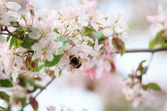Abejorro en la flor del manzano Fotos de archivo