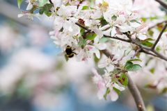 Abejorro en la flor del manzano Fotografía de archivo