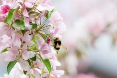 Abejorro en la flor del manzano Imagenes de archivo