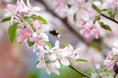 Abejorro en la flor del manzano Imagen de archivo