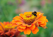 Abejorro en la flor del zinnia Fotografía de archivo