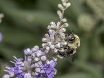Abejorro en la flor en verano Foto de archivo libre de regalías