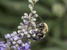 Abejorro en la flor en verano Fotografía de archivo libre de regalías