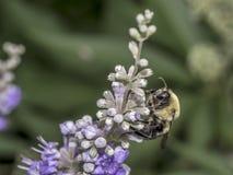 Abejorro en la flor en verano Fotos de archivo