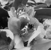Abejorro en la flor floreciente, blanco y negro Foto de archivo