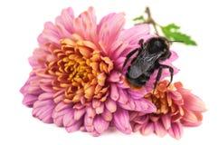 Abejorro en la flor púrpura Imagenes de archivo