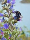 Abejorro en la flor púrpura que recoge el polen imagen de archivo