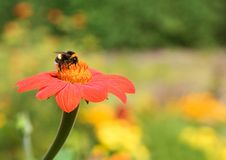 Abejorro en la flor roja Fotos de archivo libres de regalías