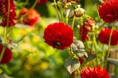 Abejorro en la flor roja de la dalia Imagen de archivo