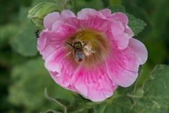 Abejorro en la flor rosada cubierta en polen Fotografía de archivo libre de regalías