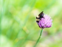 Abejorro en la flor rosada de la hierba de las cebolletas Imagen de archivo libre de regalías