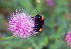 Abejorro en la flor salvaje Foto de archivo
