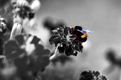 Abejorro en la flor sudafricana Fotos de archivo libres de regalías