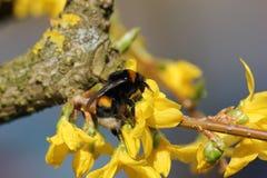 Abejorro en la floración amarilla Fotos de archivo