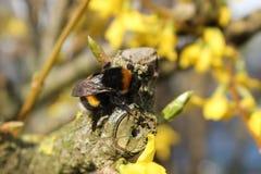 Abejorro en la floración amarilla Fotos de archivo libres de regalías