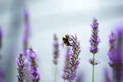Abejorro en la lavanda hermosa que florece en comienzo del verano Fotos de archivo