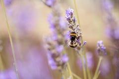 Abejorro en la lavanda hermosa que florece en comienzo del verano Foto de archivo libre de regalías