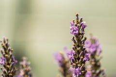 Abejorro en la lavanda hermosa que florece en comienzo del verano Imagenes de archivo