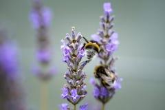 Abejorro en la lavanda hermosa que florece en comienzo del verano Fotos de archivo libres de regalías