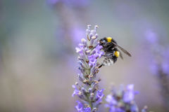 Abejorro en la lavanda hermosa que florece en comienzo del verano Fotografía de archivo libre de regalías