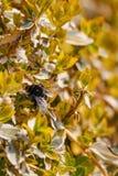 Abejorro en la planta amarilla en primavera Imagen de archivo