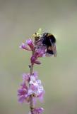 Abejorro en la ramita floreciente del daphne Imagenes de archivo
