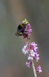 Abejorro en la ramita venenosa floreciente del daphne Fotografía de archivo