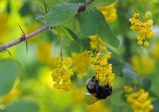 Abejorro en las flores amarillas Imagen de archivo libre de regalías