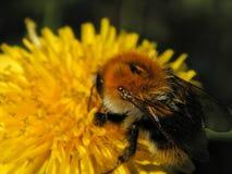 Abejorro en las flores amarillas del diente de león Foto de archivo libre de regalías