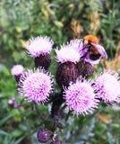 Abejorro en las flores de la bardana, día de verano Imagen de archivo libre de regalías