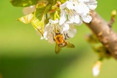 Abejorro en las flores de la cereza Fotos de archivo libres de regalías