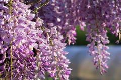 Abejorro en las flores de la glicinia fotografía de archivo