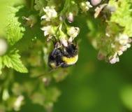 Abejorro en las flores de la grosella negra Imagen de archivo libre de regalías