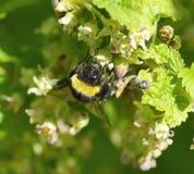 Abejorro en las flores de la grosella negra del verano Imagen de archivo libre de regalías