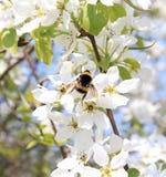 Abejorro en las flores de la manzana Fotografía de archivo