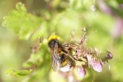 Abejorro en las flores de la ortiga Foto de archivo