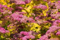 Abejorro en las flores de terciopelo Fotografía de archivo libre de regalías