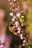 Abejorro en las flores del brezo 1 Imágenes de archivo libres de regalías