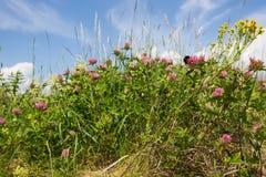 Abejorro en las flores del trébol Fotografía de archivo