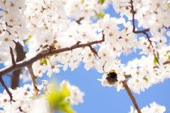 Abejorro en los manojos de flor de cerezo con las flores blancas Foto de archivo libre de regalías