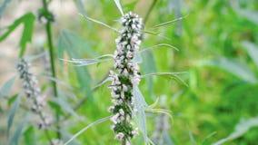 Abejorro en motherwort floreciente almacen de metraje de vídeo