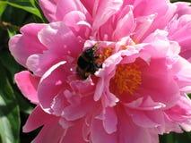 Abejorro en peonía rosada Fotos de archivo