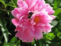 Abejorro en peonía rosada Fotografía de archivo libre de regalías