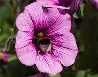 Abejorro en petunias grandiflora de una flor Imagen de archivo