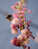 Abejorro en Sakura floreciente Imagenes de archivo