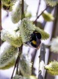 Abejorro en sauce floreciente Fotos de archivo