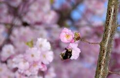 Abejorro en un cerezo japonés Imágenes de archivo libres de regalías